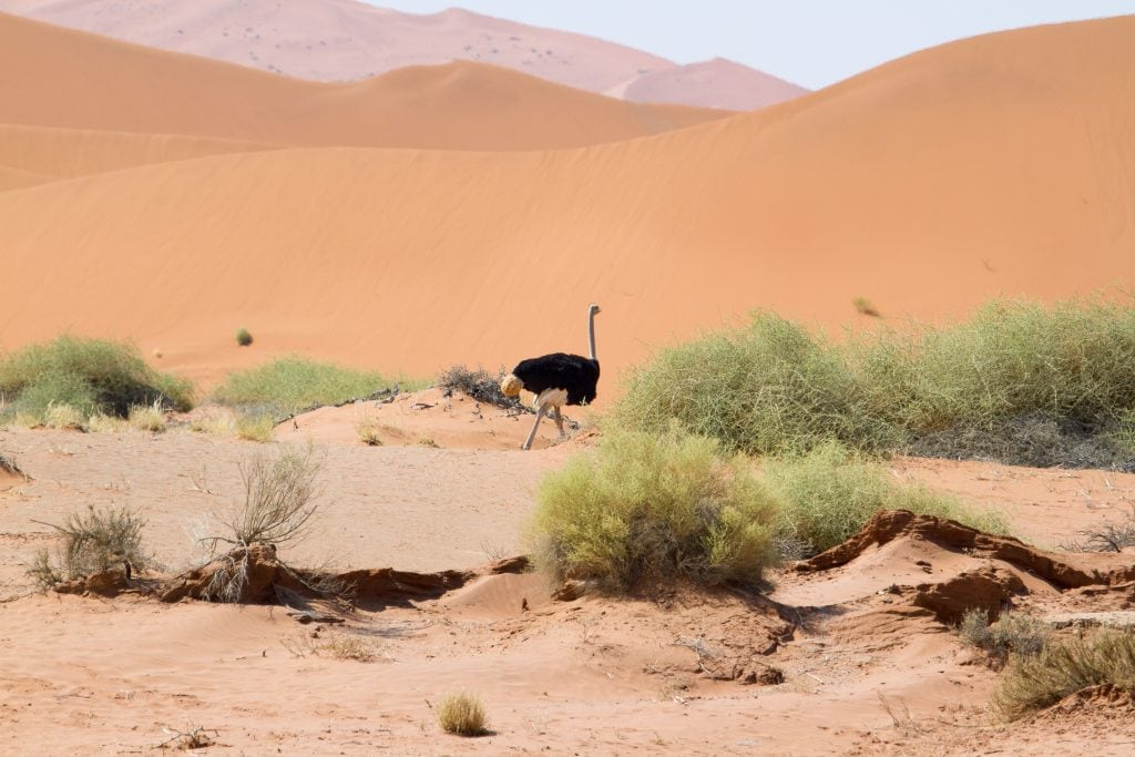 African Safari Holiday: Ostrich near Sossusvlei