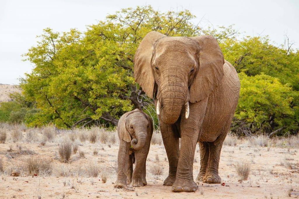 Africa for Kids: Desert Elephants