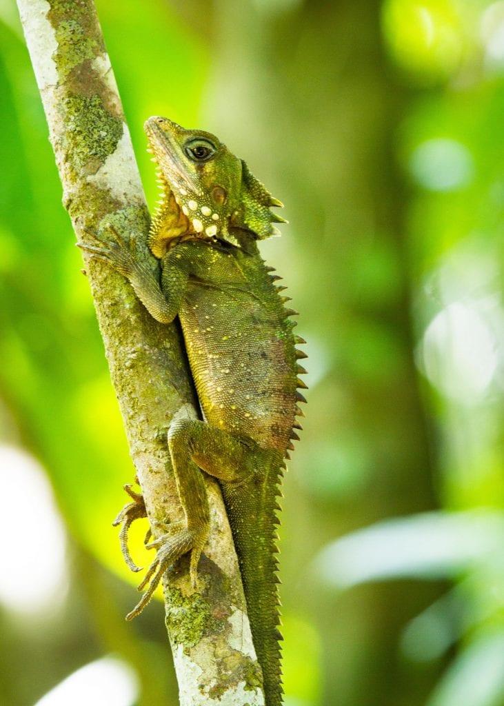 Australia for Kids: A Boyd's Dragon