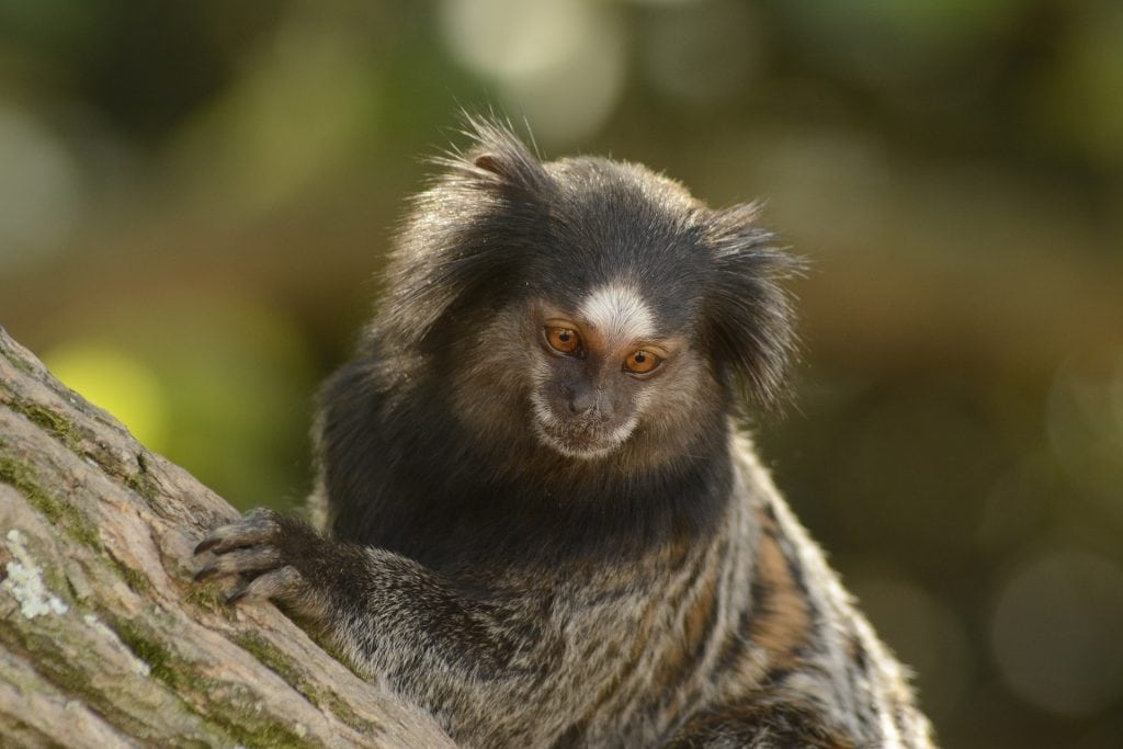 Brazil for Kids: Black-tufted marmoset