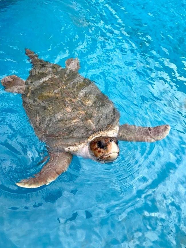 Brazil for Kids: Green sea turtle at Projeto Tamar