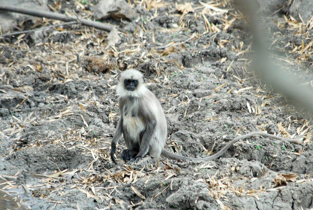 India for kids: grey monkey